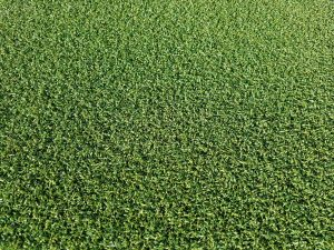YG Golf 300x225 - Rasensorten